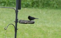 Shiny Cowbird 6-2-2013 Adams 2