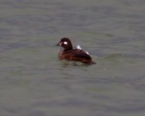 harlequin duck 12-5-2013 Erie