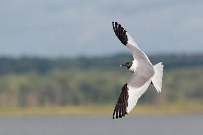 Sabine's Gull - Pennsylvania
