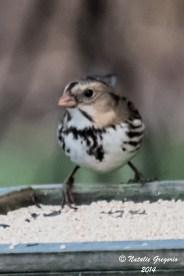 Harris Sparrow_11-23-2014_-20