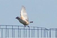 scissor-tailed flycatcher 5-12-2014 -3