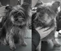 Dog_grooming_BA4_BW_Yorkietype
