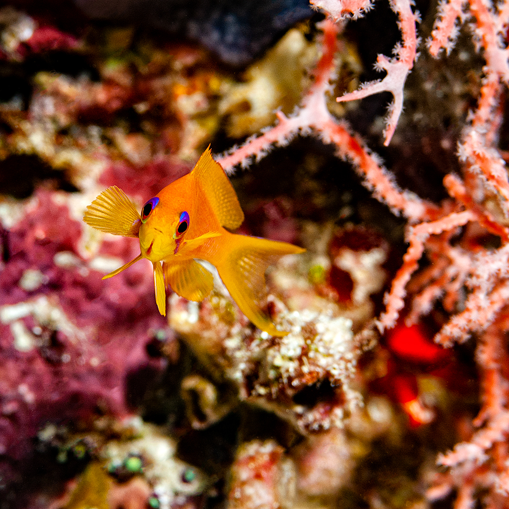 Maldivas fauna submarina Anthias retándome