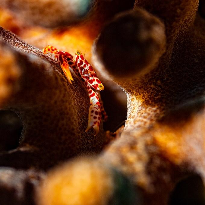 Maldivas Crustáceo en Pocillopora
