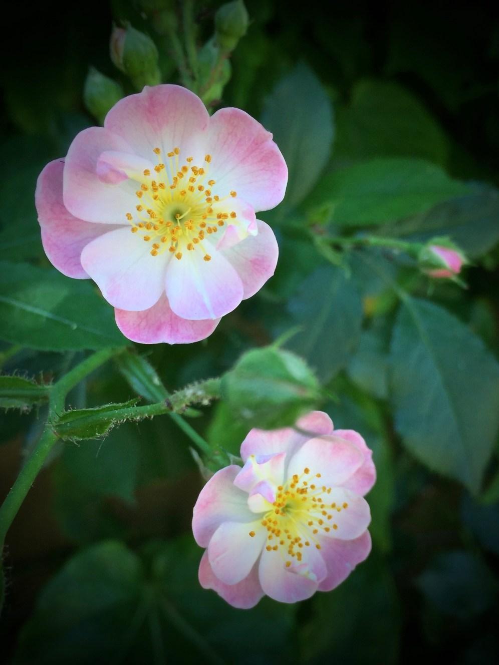 Famigliola di rose