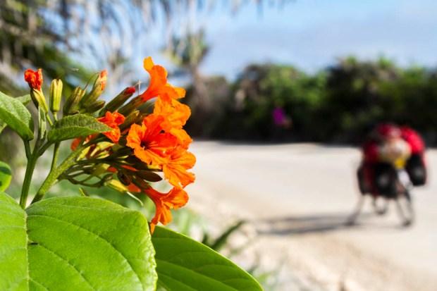 Geiger Tree flower (Cordia dodecandra)