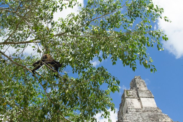 Spider monkey playing in the trees at Tikal ruins