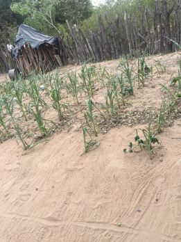 Part of the crops affected by the climate change in Zimbabwe