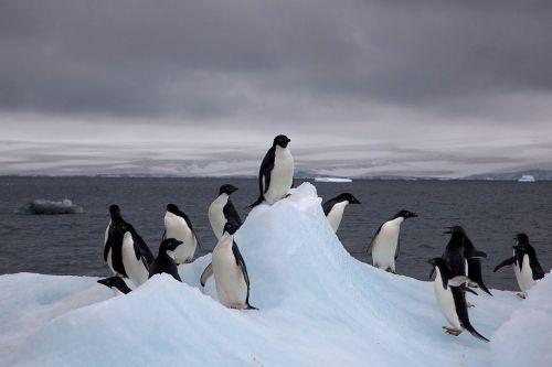 Penguins sur un iceberg