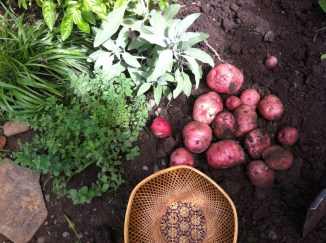 today's harvest of red pontiac heirloom potatoes alongside white sage, oregano, sweet grass and basil plants