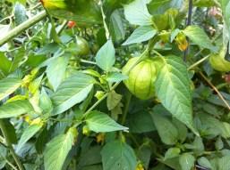 tomatillos of joy