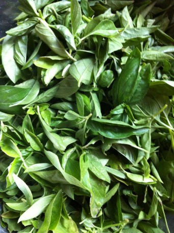 at least a pound of basil today