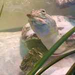Myrtle - Softshell Turtle