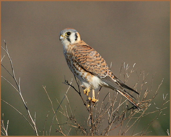 A young American Kestrel.  Photo by Cleve Nash