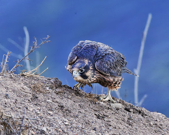 Falcon sneaking up on a ???  Photo by Cleve Nash