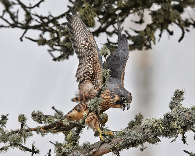 It's not easy to land on a lichen covered branch. Photo by Cleve Nash