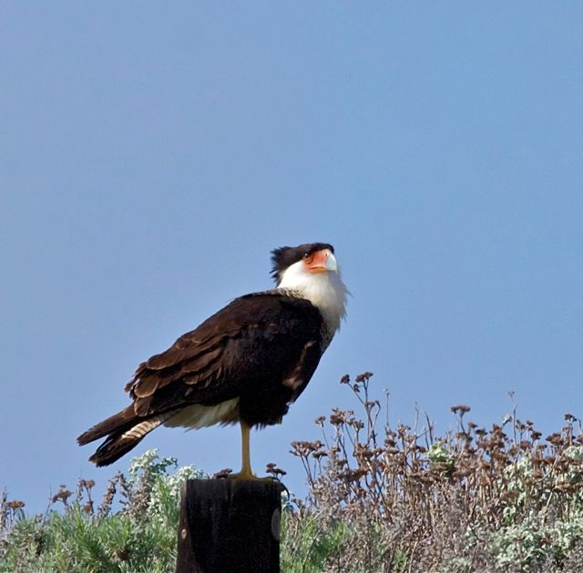 Crested Caracara, adult   Photo by Teddy Llovet