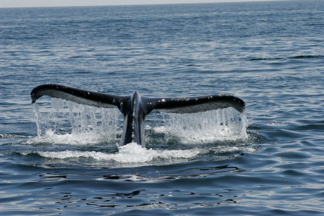 Humpback whale tail from SubSeas Tours