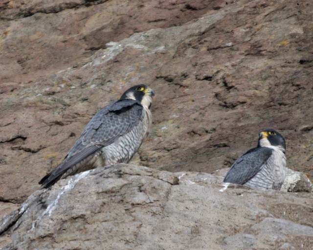 Together, the tiercel on the right    Photo by Cleve Nash