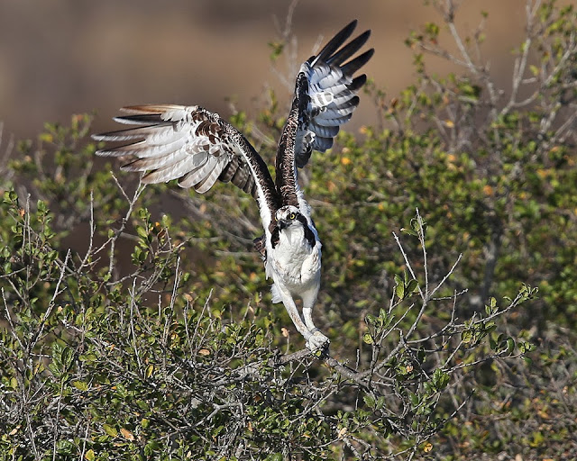 Osprey  Photo by Cleve Nash