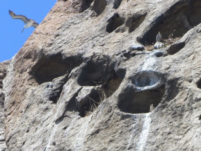 "Female sitting in the ""waterfall"" hole, tiercel above    Photo by Bob Isenberg"