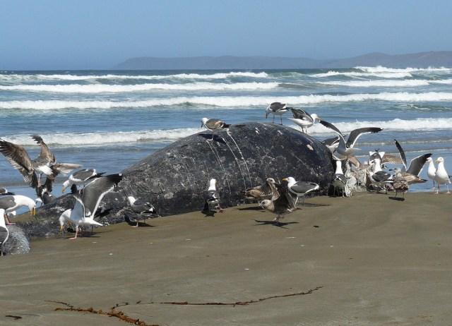 gray whale calf, orcas, Morro Bay, CA