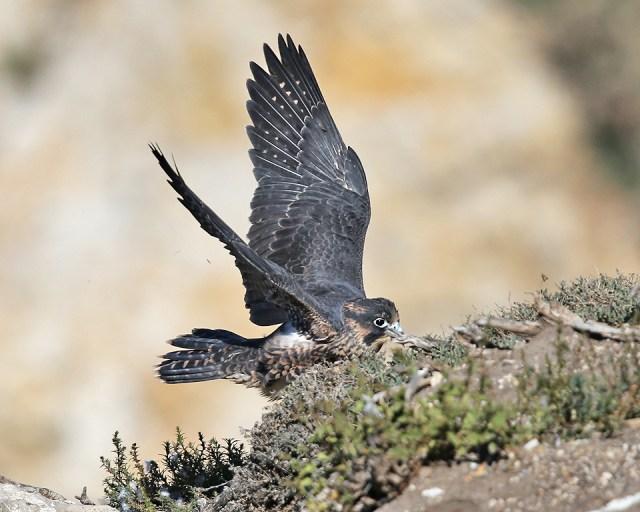 peregrine, birds, falcons, juvenile
