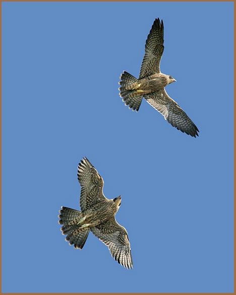 peregrine, juveniles, sparring, in flight