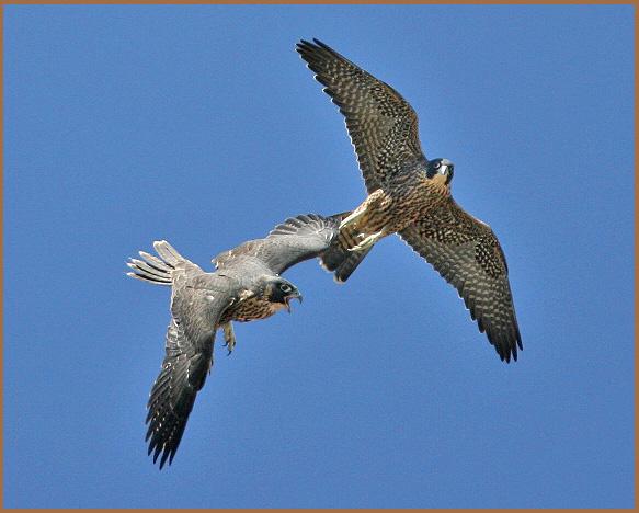 peregrine, juveniles, in flight