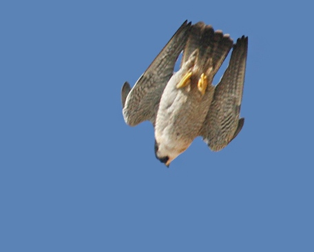 peregrine, falcon, stoop