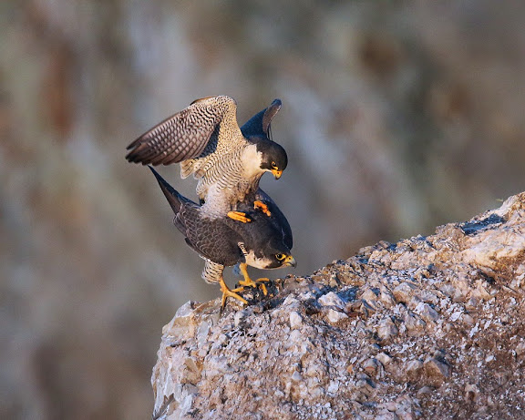 peregrines, cloacal kiss