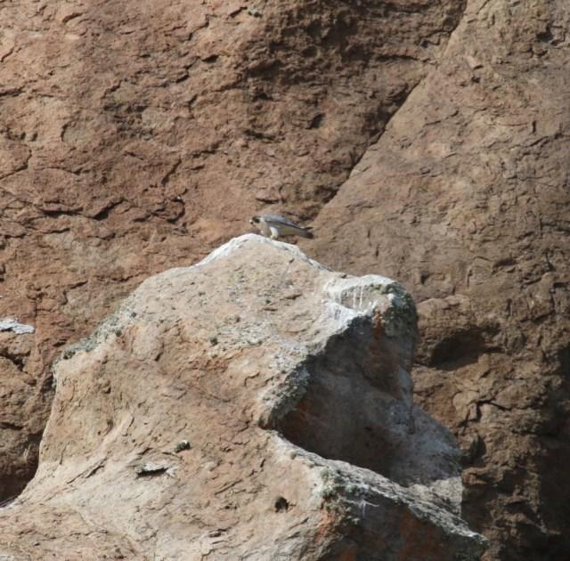 peregrine on Chimney Rock