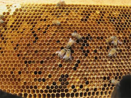 Honeybees on a frame of pollen