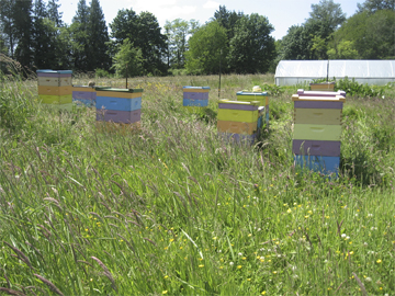 Honeybee hives in tall grass