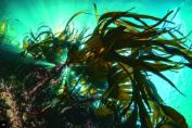 Under the canopy of large seaweed beds
