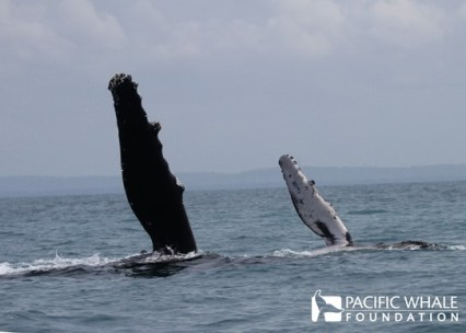 "Mother and her calf doing a ""pec slap"" when a whale slaps the surface of the water with one or both of its long pectoral flipper (roughly 1/3 of the body), creating a loud sound. Photo taken under QLD permits: QS2011/GS040 and Registration #307."