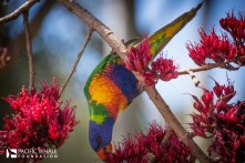 The Rainbow Lorikeet is a colorful bird native to the eastern seaboard of Australia, and all though very beautiful they are noisy and travel in loud sociable flocks.