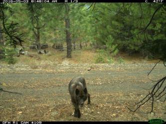 Shasta Pack wolf, May 2016. Photo courtesy of CDFW.
