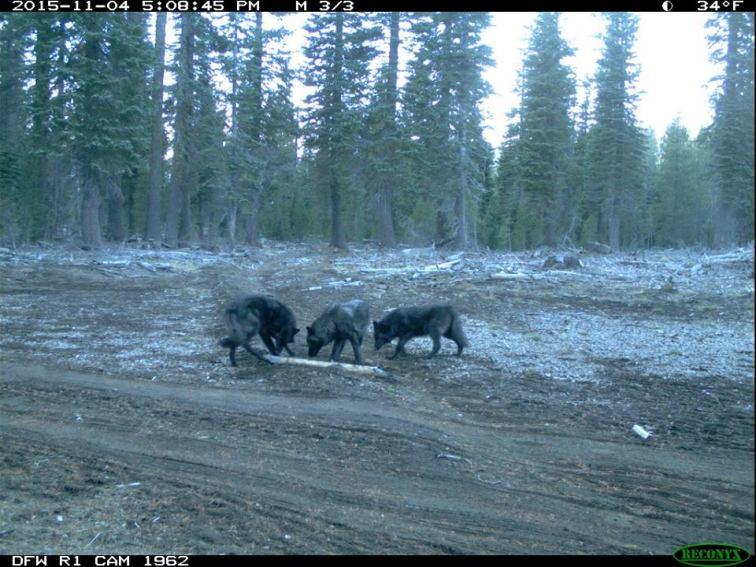 Shasta Pack wolves, November 2015. Photo courtesy of CDFW.