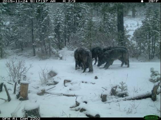 Shasta Pack wolves, November 2015. Photo courtesy of CDFW