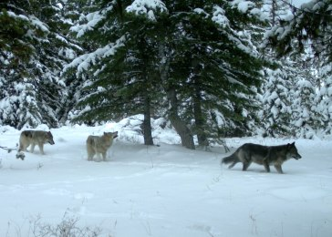 Minam Pack wolves in the Eagle Cap Wilderness, Dec 14, 2014. Photo courtesy of ODFW.