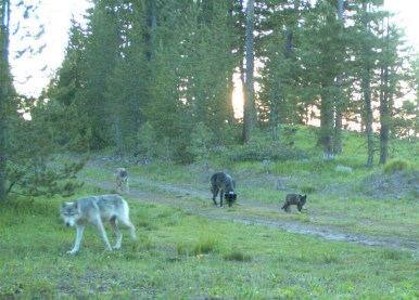 OR-2 (front left) and other members of the Imnaha Pack, July 9, 2011. Photo courtesy of ODFW.