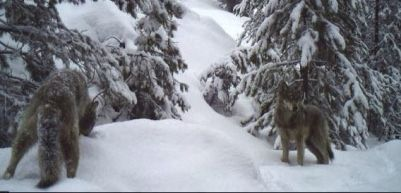 Loup Loup Pack wolf, Feb 2016. Photo courtesy of John Danielson / WDFW.