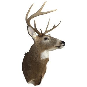 Shipping and Moving a Deer Head with Antlers