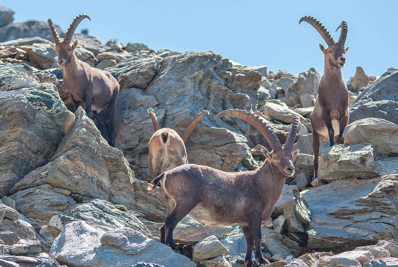 Bouquetin or Ibex right at the rock next to the cable car