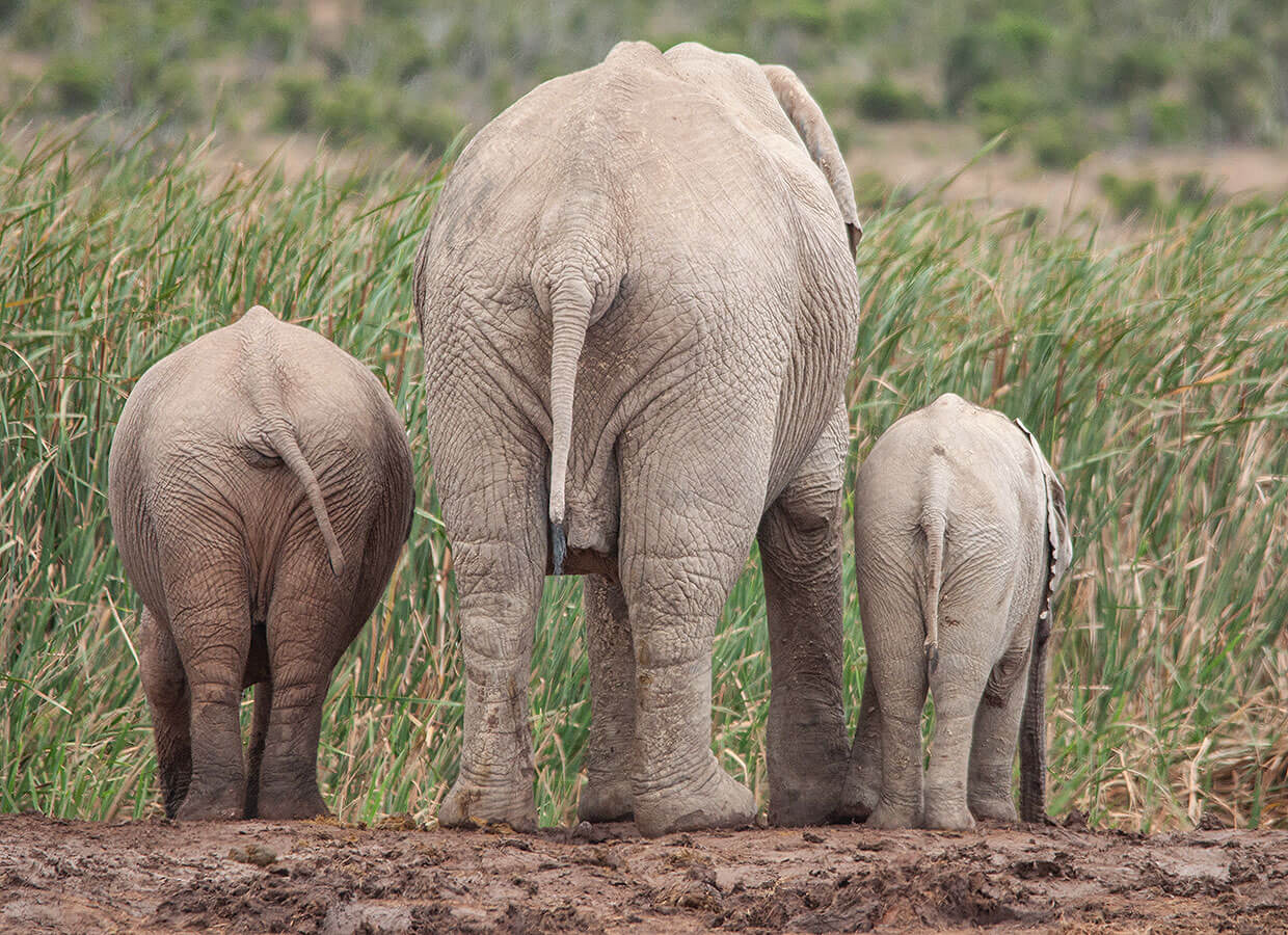 Elephants at the Addo Elephant National Park
