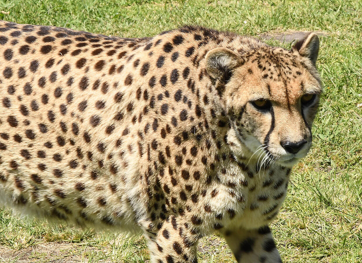 Amazing Cheetah up close at Tenikwa
