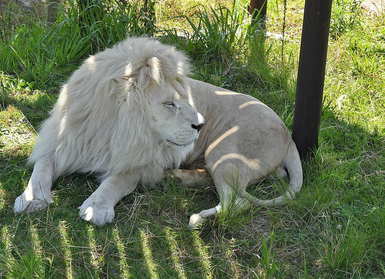 Beautiful White Lion male at Tenikwa