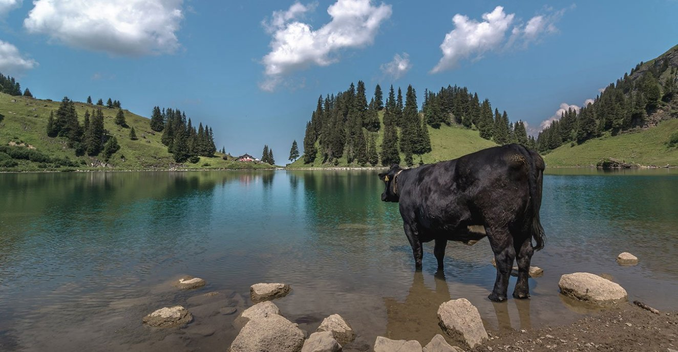 a cow standing in the water at Lac Lioson