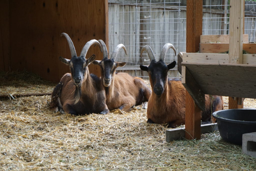 What to look for in an adult pack goat